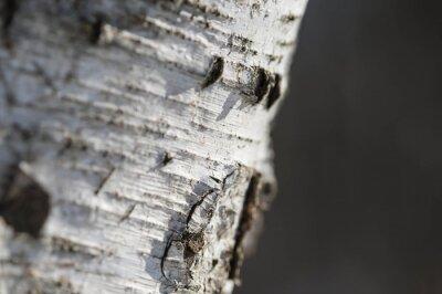 Fototapet Barken av björk närbild