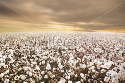 Fototapet Beautiful Cotton Field in Texas with morning Sunrise