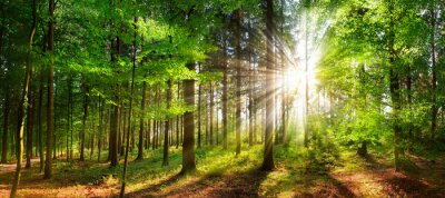 Fototapet Beautiful rays of sunlight in a green forest