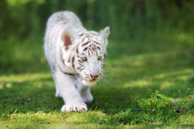 Fototapet bedårande vit tiger unge går på gräs