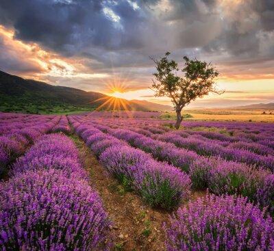 Fototapet Bedövning landskap med lavendel fält på soluppgången
