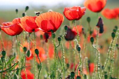 Fototapet bee och vallmo blomma vårsäsongen