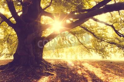 Fototapet Beech Tree i morgonljuset