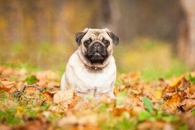 Fototapet Beige mops hund sitter på löv på hösten