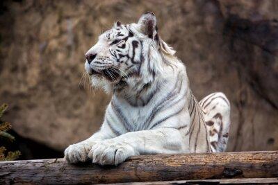 Fototapet Bengal tiger - en sällsynt underart, ingår i IUCN rödlista