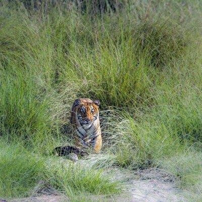 Fototapet Bengal tiger i Bardia nationalpark, Nepal