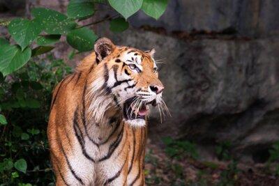 Fototapet Bengal tiger i skogen