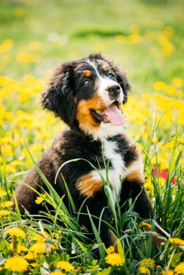Fototapet Berner sennenhund eller Berner Sennenhund valp Sitter i grönt