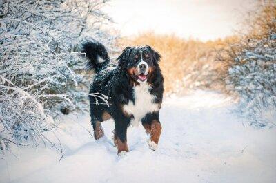 Fototapet Berner sennenhund på promenad på vintern