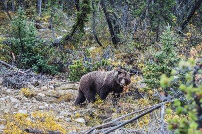 Fototapet Big brunbjörn söker ekollon