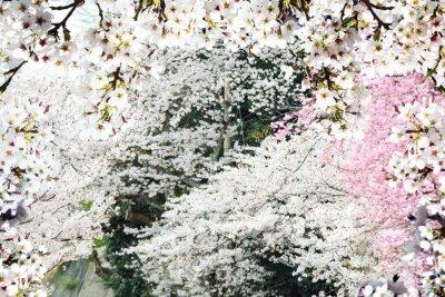 Fototapet Bild av vacker sakura seasnon i Kyoto, Japan