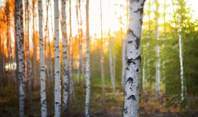 Fototapet Björk träd vid solnedgången