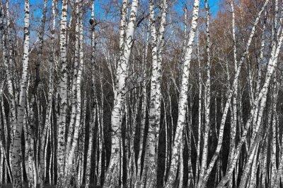 Fototapet björkhagen, svartvit gradient