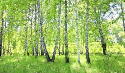 Fototapet björkskog