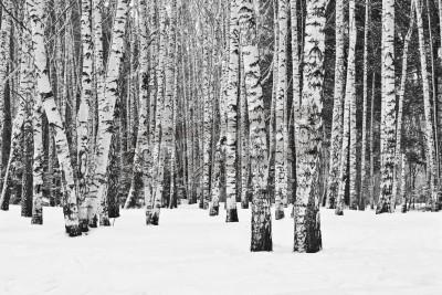 Fototapet Björkskog i vintern i svart och vitt