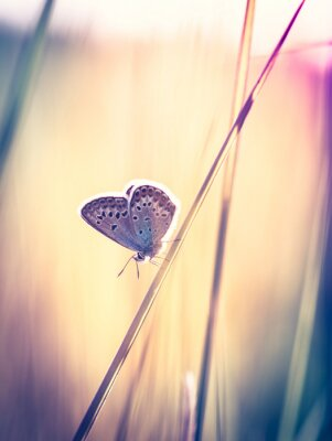 Fototapet Blå fjäril på gräset