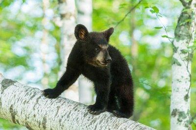 Fototapet Black Bear Cub (Ursus americanus) Slår på Branch