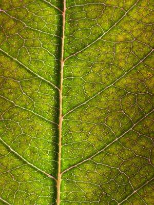 Fototapet blad makro bakgrund