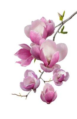 Fototapet Blommande gren av magnolia