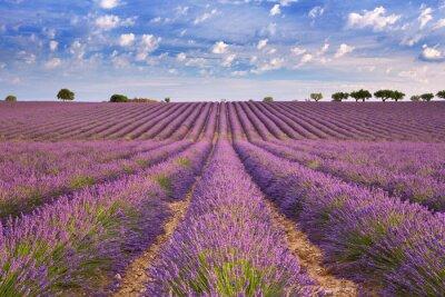 Fototapet Blommande lavendelfält i Provence, södra Frankrike