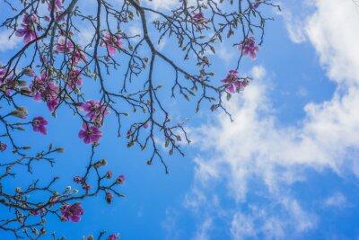 Fototapet Blommande magnolia träd
