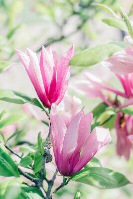 Fototapet Blommande rosa magnolia blommor på våren