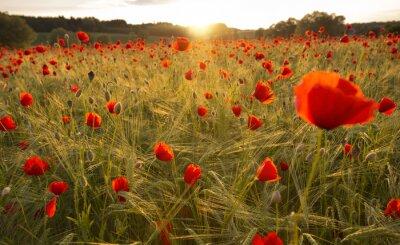 Fototapet Blommande vallmofält i kvällsljus