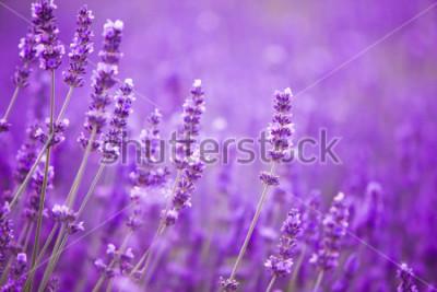 Fototapet Blommor i lavendel fälten i Provence bergen.