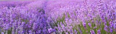 Fototapet Blommor i lavendelfält.