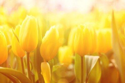 Fototapet Bright blommig bakgrund med gula tulpaner och sol ljuseffekt