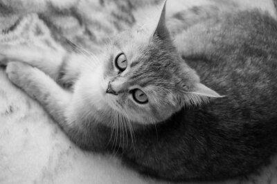 Fototapet Brittisk katt - Svart och vitt