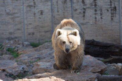 Fototapet Brun björn