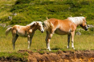 Fototapet Brun och vit sto med föl / brun och vit häst med föl i berget. Nationalparken Adamello Brenta, Trentino Alto Adige, Italien
