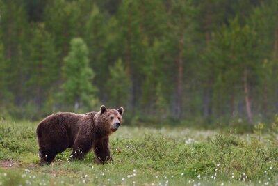 Fototapet brunbjörn med skog bakgrund