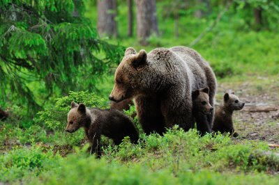 Fototapet Brunbjörn med ungar i skogen