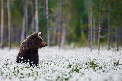 Fototapet Brunbjörn mellan ängsull