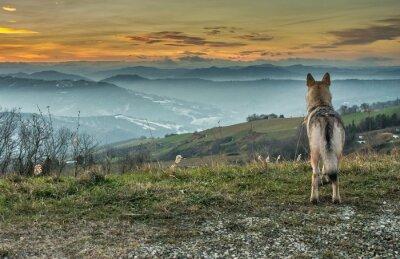 Fototapet Cane Lupo