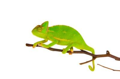 Fototapet Chameleon på en gren