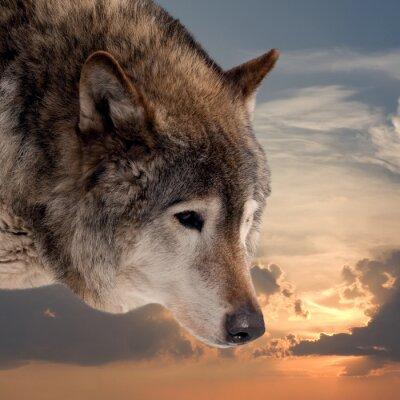 Fototapet Chef för varg mot solnedgång sky
