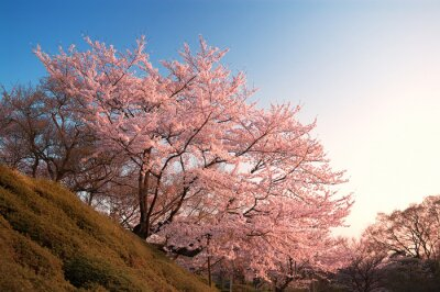 Fototapet Cherry Blossoms på Kiyomizu-dera, Kyoto, Japan