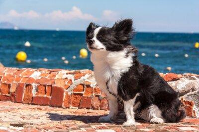 Fototapet Chihuahua