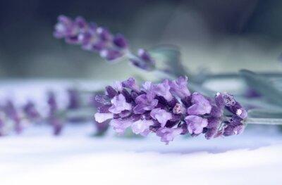 Fototapet Cloce av lavendel blomma