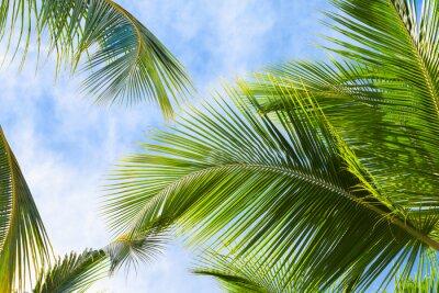 Fototapet Coconut palm blad