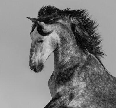 Fototapet Dapple grå andalusisk hingst - porträtt i rörelse