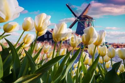Fototapet De berömda nederländska väderkvarnarna bland blommande vita tulpanblommor. Solig utomhusplats i Nederländerna. Skönhet av landsbygden koncept bakgrund. Kreativt collage.