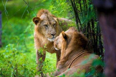 Fototapet Den mycket sällsynta asiatiska lejon i en nationalpark i Indien. Dessa nationella skatter nu skyddade, men på grund av urban tillväxt de aldrig kommer att kunna ströva Indien som de brukade.
