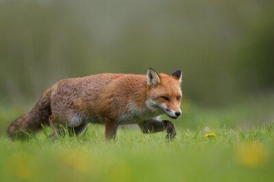 Fototapet Den röda räven promenader i ett fält av gräs och blommor
