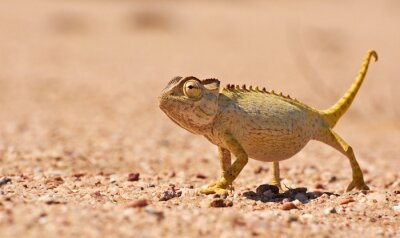 Fototapet Desert Chamaeleon i Namib, Namibia