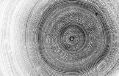 Fototapet Detailed macro view of felled tree trunk or stump. Black and white organic texture of tree rings with close up of end grain.