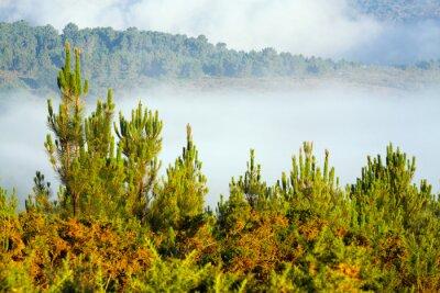 Fototapet Dimmig landskap med tallskog